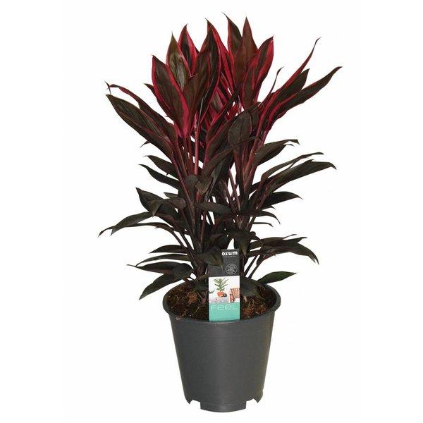 Cordyline Tango - 3 cuttings pot 19 cm