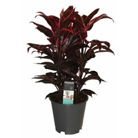 Cordyline Mambo -3 cuttings - pot 19 cm