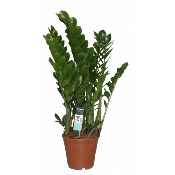 Zamioculcas 6 feather ++ - pot 21 cm