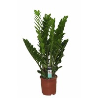 Zamioculcas Emerald Palm - 8 feathers