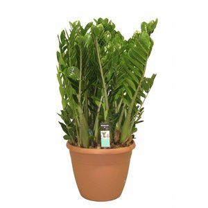 Zamioculcas 15 feathers - XL - pot 37 cm