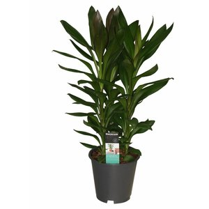 Cordyline Glauca - 3 cuttings pot 19 cm