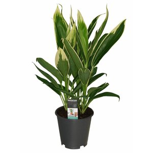 Cordyline New Conga - 3 cuttings pot 19 cm