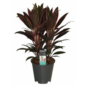 Cordyline Rumba - 3 cuttings pot 19 cm