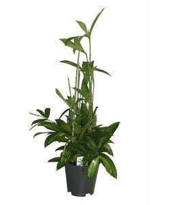 Surculosa - pot 17 cm - Dragon tree, Century plant