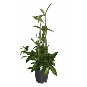 Dracaena Surculosa - Topf 17 cm