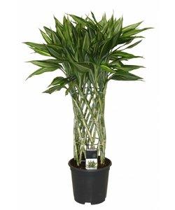 Sandriana Victory - Dragon tree, Century plant