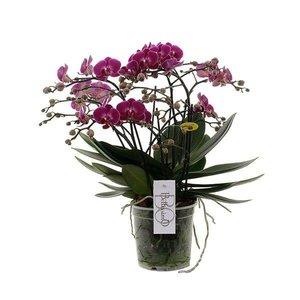 Phalaenopsis Bellissimo - 100 + Blumen !!