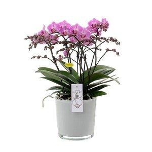 Phalaenopsis Bellissimo - 100 + bloemen !!