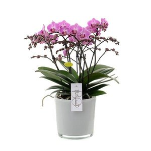 Phalaenopsis Bellissimo - 100 + fleurs !!