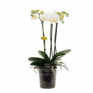 Phalaenopsis Hikari 3 tak