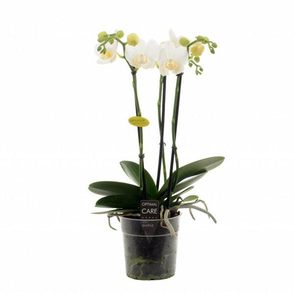 Phalaenopsis Hikari 3 Zweig