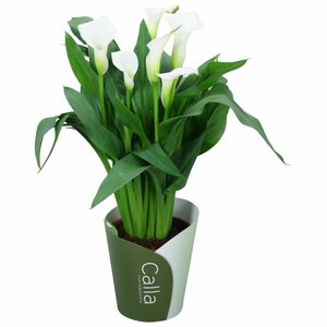 Zantedeschia Calla Crystal Blush 5+ flower