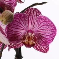 Phalaenopsis 2 tak gestreept