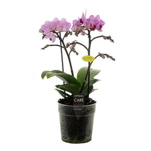 Phalaenopsis Lotte 2 branch