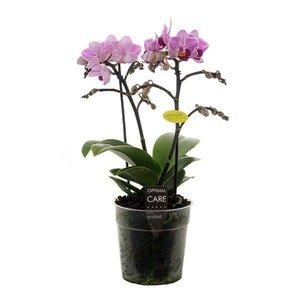 Phalaenopsis Lotte 2 tak