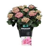 Hydrangea  Curly Wurly 9-15 bloemen