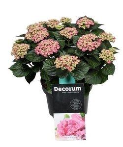 Curly Wurly 9-15 bloemen - Hortensia