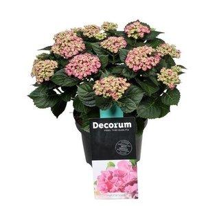 Hydrangea  Curly Wurly 9-15 flowers