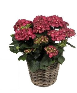Do not use 10-15 flowers in the basket + water reservoir