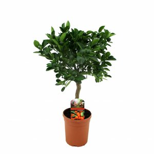 Citrus Calamondin sur le tronc 50 cm