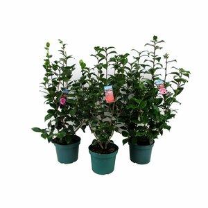 Camellia Japonica, een winterbloeier!