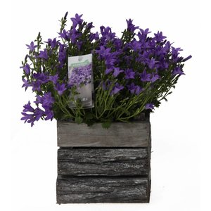Campanula addenda in wooden bark pot