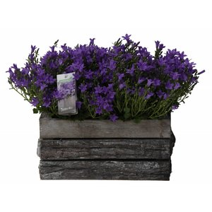 Campanula addenda twins in wooden bark pot