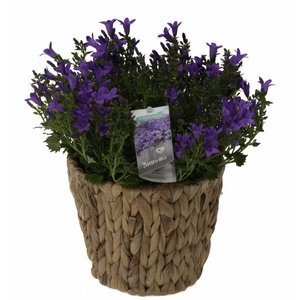 Campanula addenda in weave pot