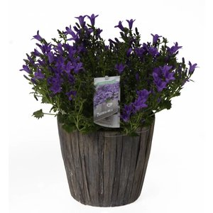 Campanula addenda in leaf pot