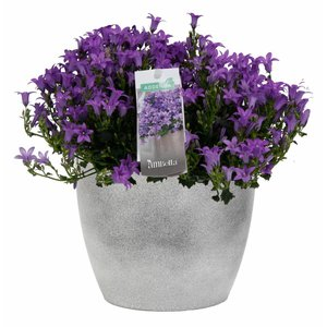 Campanula addenda in concrete pot