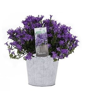 Campanula addenda in classic pot
