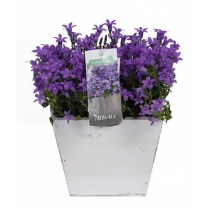 Campanula addenda in wooden square