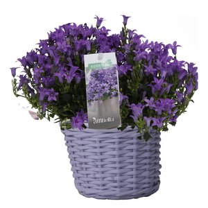 Campanula addenda in colored basket