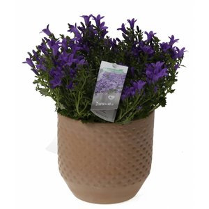 Campanula addenda in triangle pot