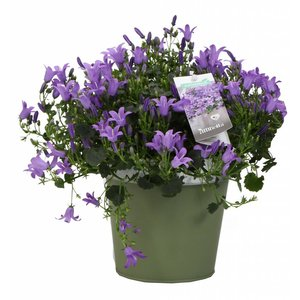 Campanula addenda in colored zinc