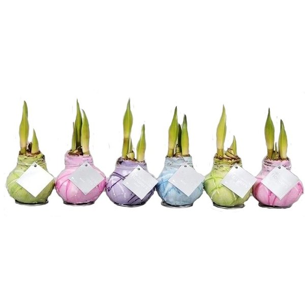 Amaryllis Wax Monet serie