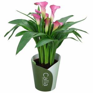 Zantedeschia Calla Garnet Glow 5 + bloem