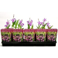 Orchideeën Bletilla Striata Purple