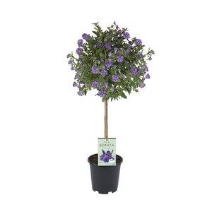 Solanum rantonnetii op stam