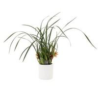 Maxillaria malibu in decorative pot - smells nice!