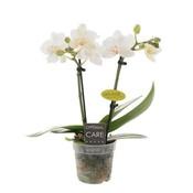Phalaenopsis Miniflora 2 branch eva