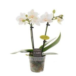 Phalaenopsis Miniflora 2 tak eva