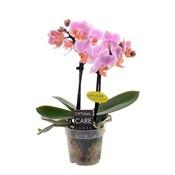 Phalaenopsis Miniflora 2 Zweig Fenna