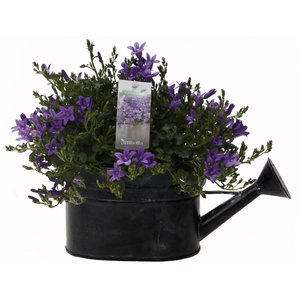 Campanula addenda in watering can