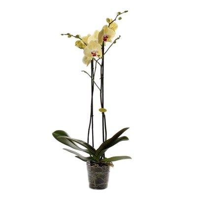 Phalaenopsis 2-teilige gelbe Top-Qualität