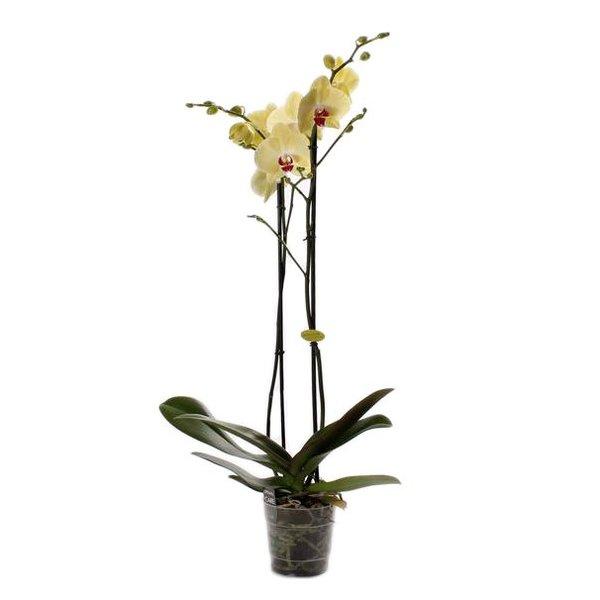 Phalaenopsis 2 branch yellow top quality