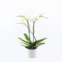 Phalaenopsis 2 branches ramifiées en verre de lait