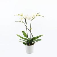 Phalaenopsis 2 Zweige in Milchglas verzweigt