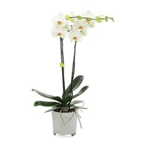 Phalaenopsis 2 branch bijoux pearll in milk glass